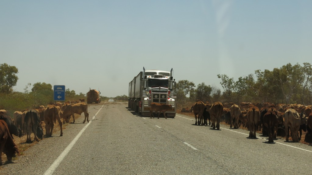 Troupeau de vaches et road train