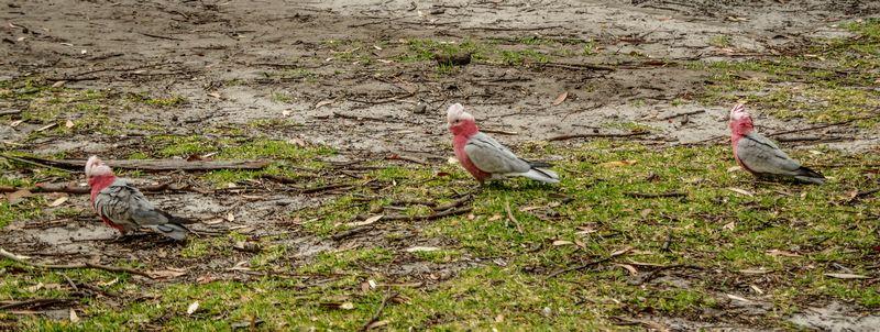 Oiseaux colorés de Jervis Bay